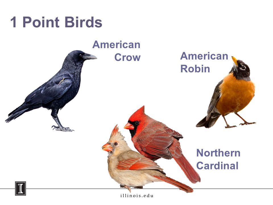 1 Point Birds American Crow American Robin Northern Cardinal