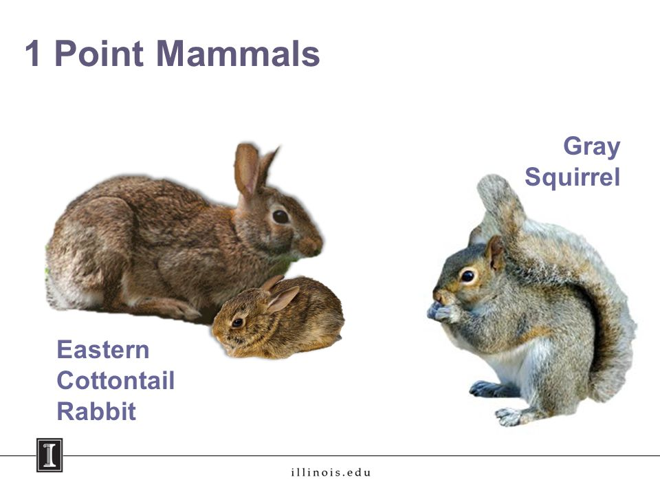 1 Point Mammals Eastern Cottontail Rabbit Gray Squirrel