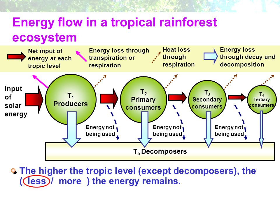 Energy flow in a tropical rainforest ecosystem Input of solar energy T 1 Producers T 2 Primary consumers T 3 Secondary consumers T 4 Tertiary consumer