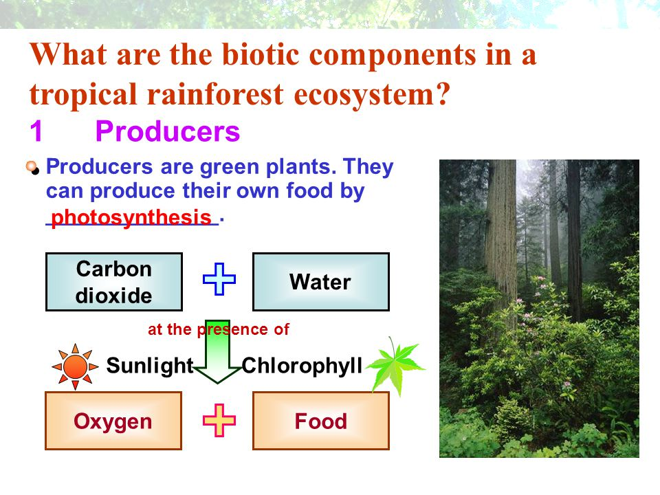 What are the biotic components in a tropical rainforest ecosystem? 1Producers Producers are green plants. They can produce their own food by _________