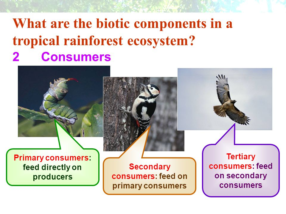 What are the biotic components in a tropical rainforest ecosystem? 2Consumers Consumers are animals. They cannot produce their own food. Primary consu