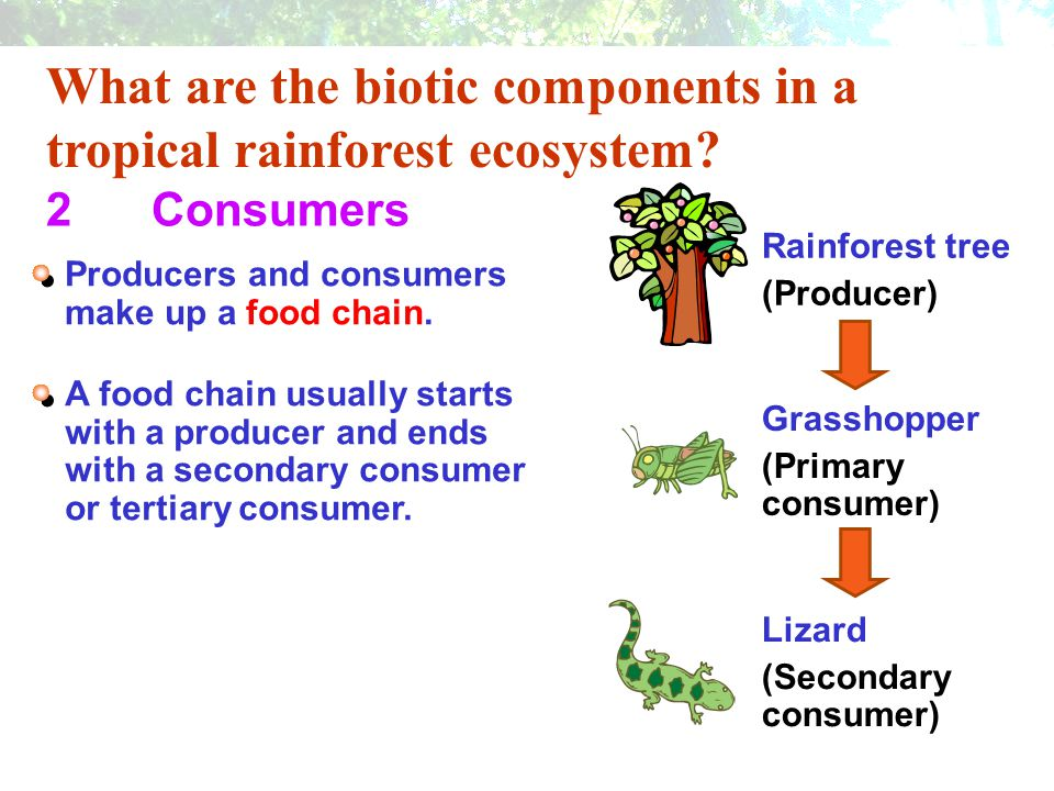 What are the biotic components in a tropical rainforest ecosystem? 2Consumers Producers and consumers make up a food chain. Rainforest tree (Producer)