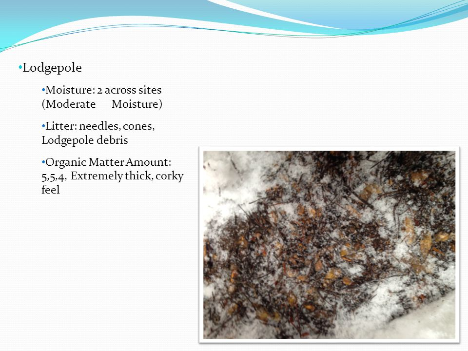 Lodgepole Moisture: 2 across sites (Moderate Moisture) Litter: needles, cones, Lodgepole debris Organic Matter Amount: 5,5,4, Extremely thick, corky f