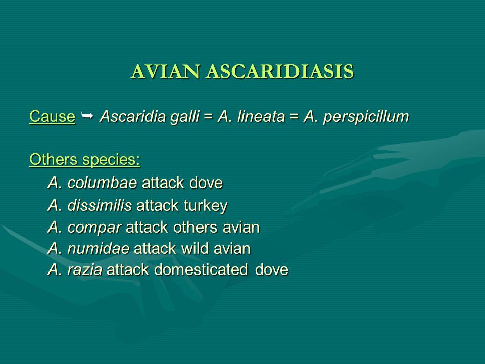 AVIAN ASCARIDIASIS Cause  Ascaridia galli = A.lineata = A.
