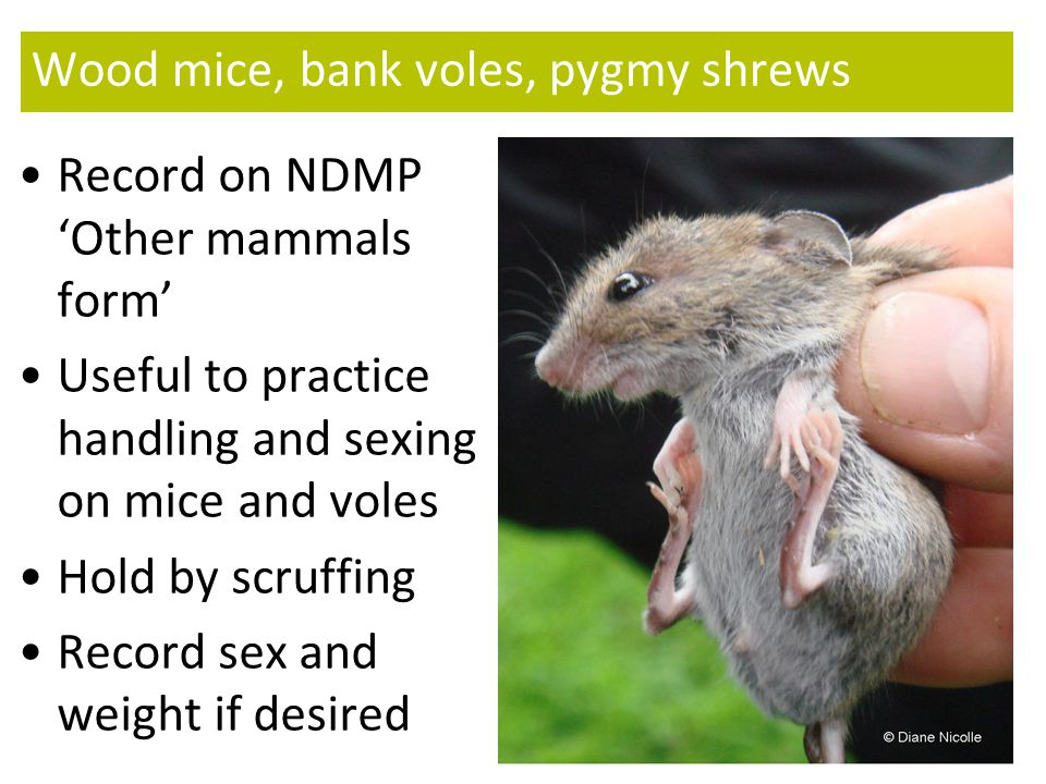 Wood mice, bank voles, pygmy shrews Record on NDMP 'Other mammals form' Useful to practice handling and sexing on mice and voles Hold by scruffing Record sex and weight if desired