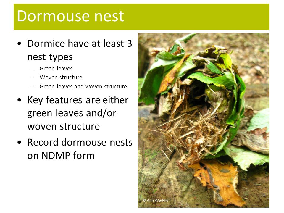 Dormouse nest Dormice have at least 3 nest types –Green leaves –Woven structure –Green leaves and woven structure Key features are either green leaves and/or woven structure Record dormouse nests on NDMP form