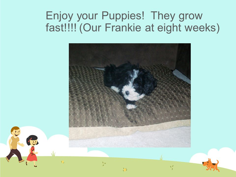 Enjoy your Puppies! They grow fast!!!! (Our Frankie at eight weeks)