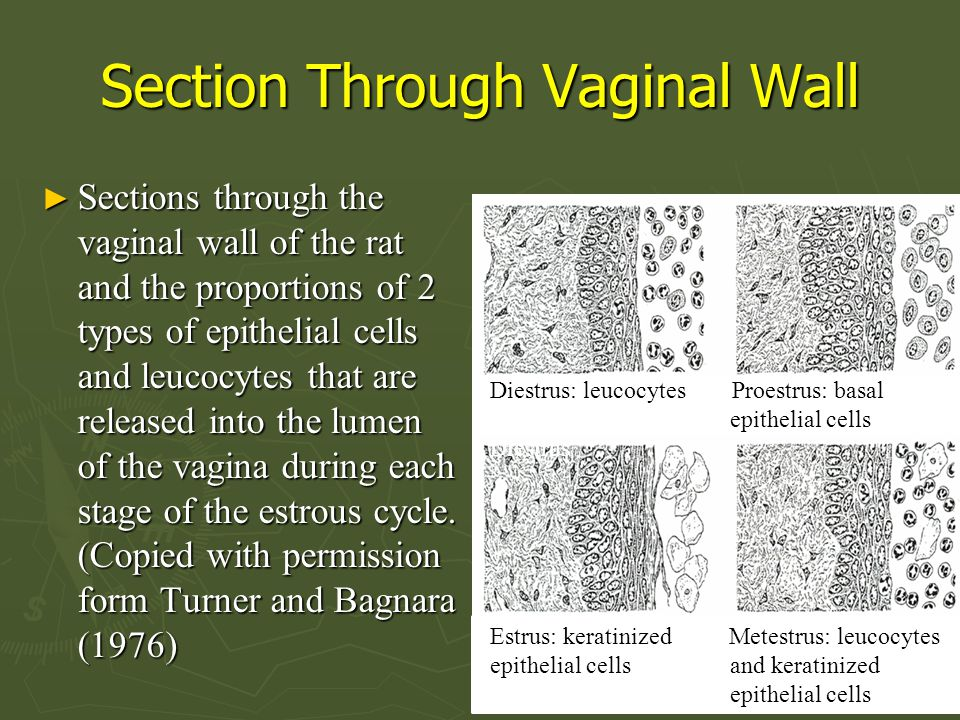 Section Through Vaginal Wall ► Sections through the vaginal wall of the rat and the proportions of 2 types of epithelial cells and leucocytes that are released into the lumen of the vagina during each stage of the estrous cycle.