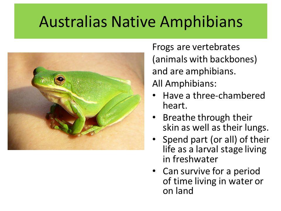 Australias Native Amphibians Frogs are vertebrates (animals with backbones) and are amphibians.