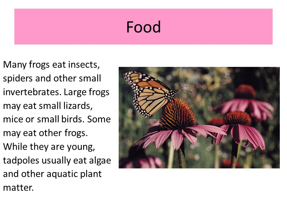 Food Many frogs eat insects, spiders and other small invertebrates. Large frogs may eat small lizards, mice or small birds. Some may eat other frogs.