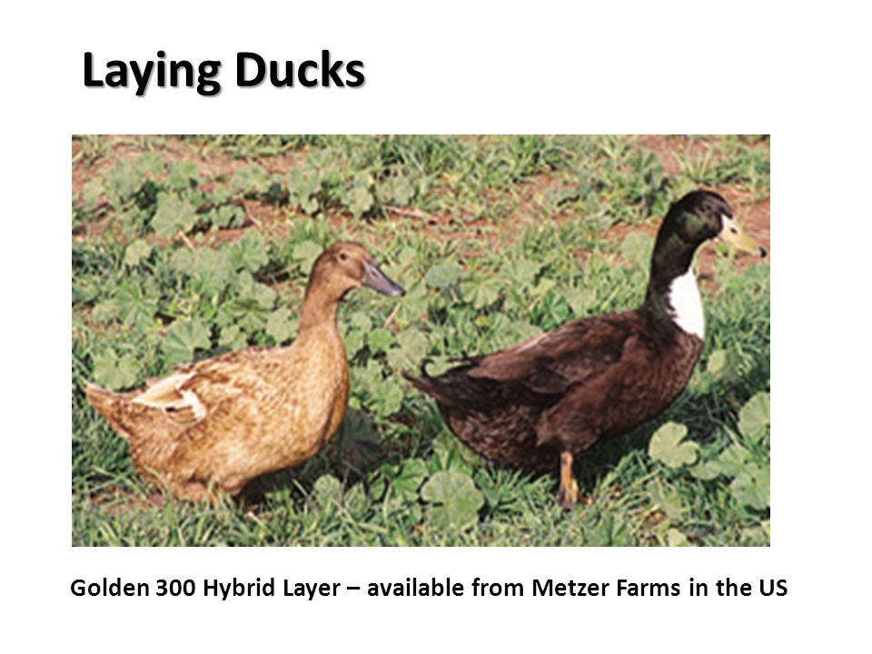 Laying Ducks Golden 300 Hybrid Layer – available from Metzer Farms in the US
