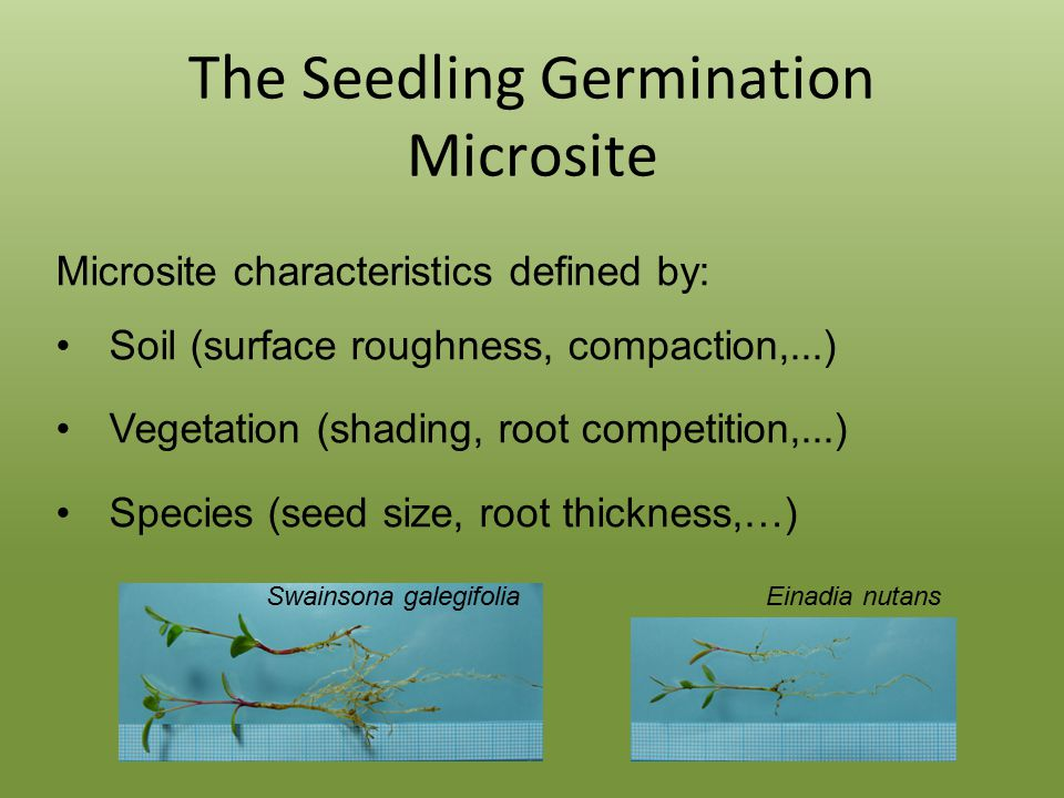 The Seedling Germination Microsite Microsite characteristics defined by: Soil (surface roughness, compaction,...) Vegetation (shading, root competition,...) Species (seed size, root thickness,…) Swainsona galegifolia Einadia nutans