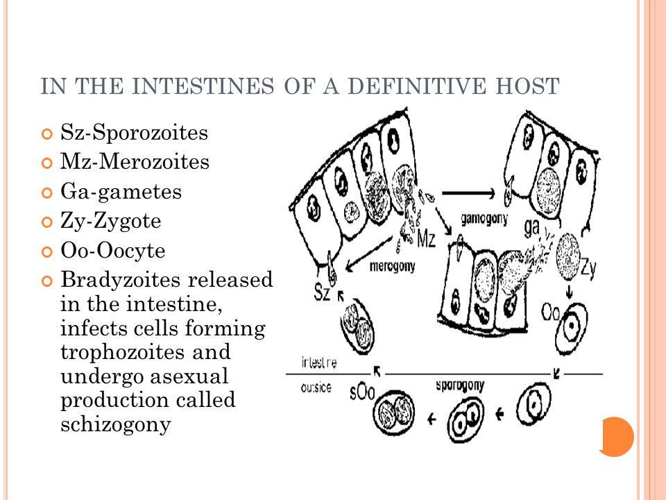 IN THE INTESTINES OF A DEFINITIVE HOST Sz-Sporozoites Mz-Merozoites Ga-gametes Zy-Zygote Oo-Oocyte Bradyzoites released in the intestine, infects cell