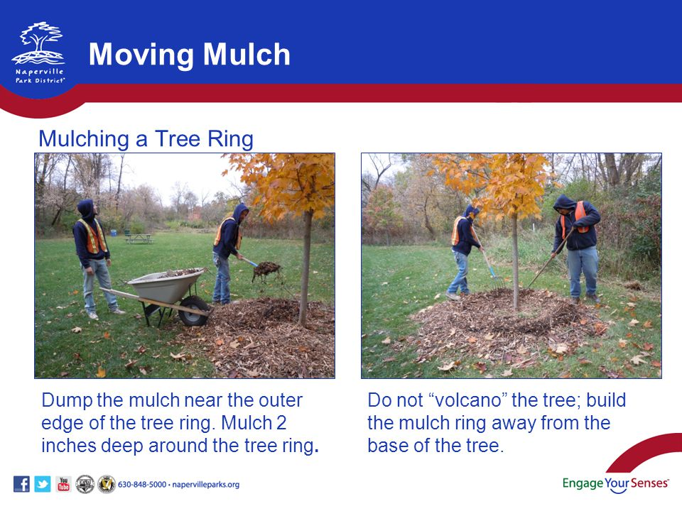 Dump the mulch near the outer edge of the tree ring.