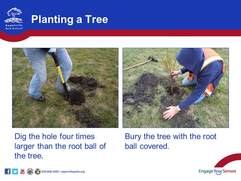 Dig the hole four times larger than the root ball of the tree. Bury the tree with the root ball covered. Planting a Tree