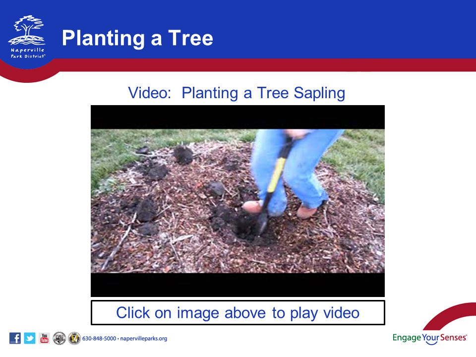 Click on image above to play video Video: Planting a Tree Sapling