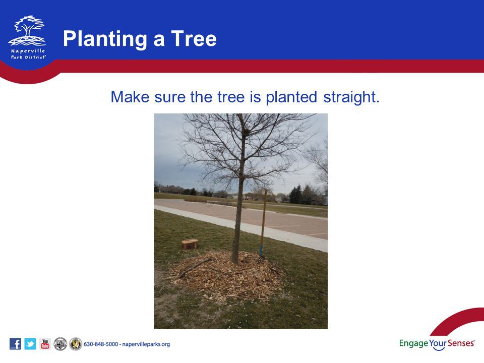 Make sure the tree is planted straight.