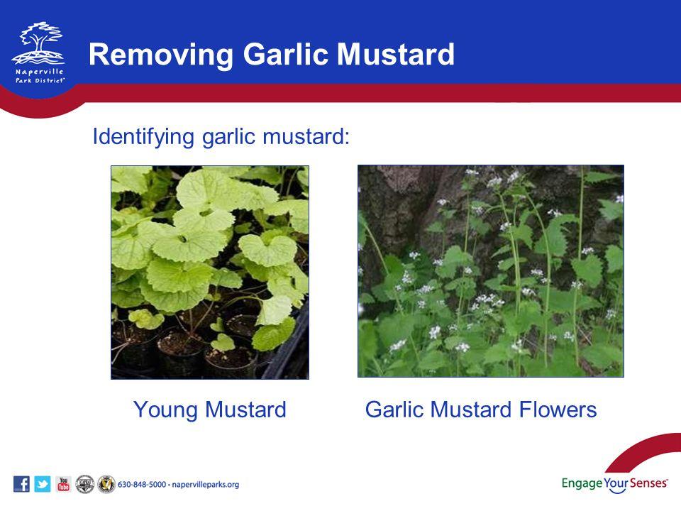 Young MustardGarlic Mustard Flowers Removing Garlic Mustard Identifying garlic mustard: