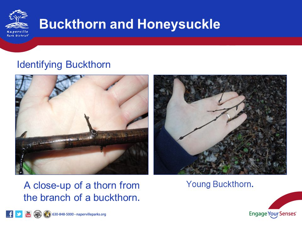A close-up of a thorn from the branch of a buckthorn. Young Buckthorn. Buckthorn and Honeysuckle Identifying Buckthorn