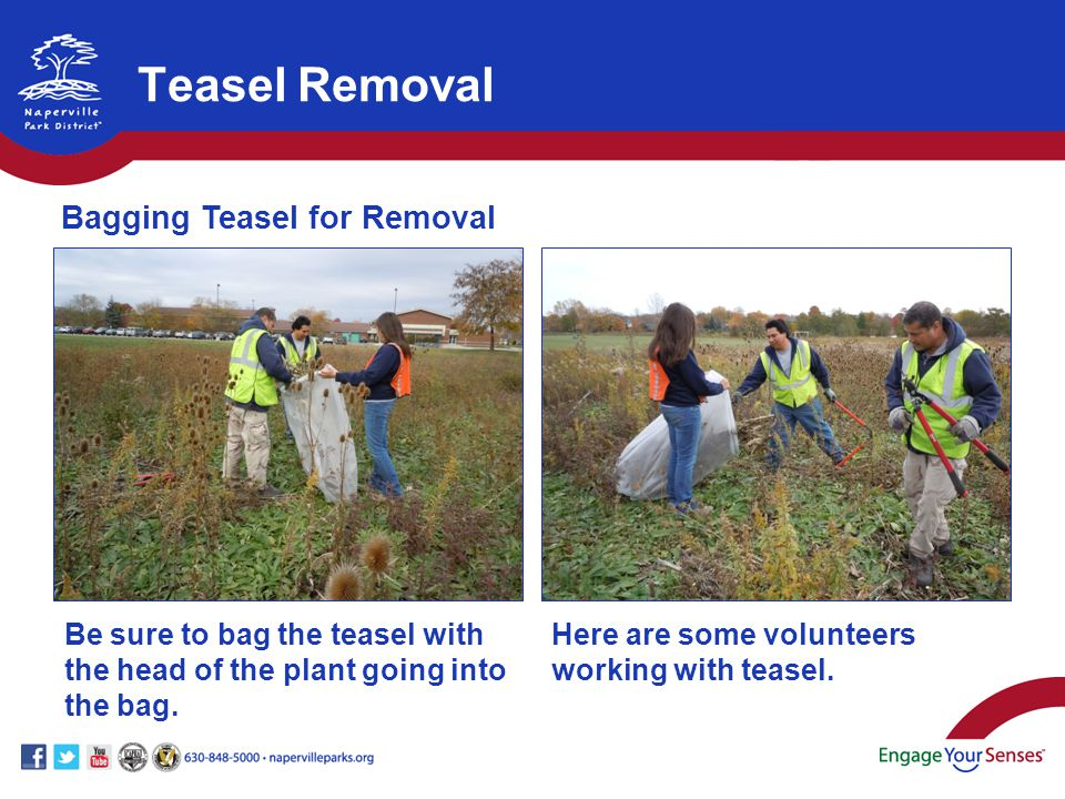Be sure to bag the teasel with the head of the plant going into the bag. Here are some volunteers working with teasel. Teasel Removal Bagging Teasel f