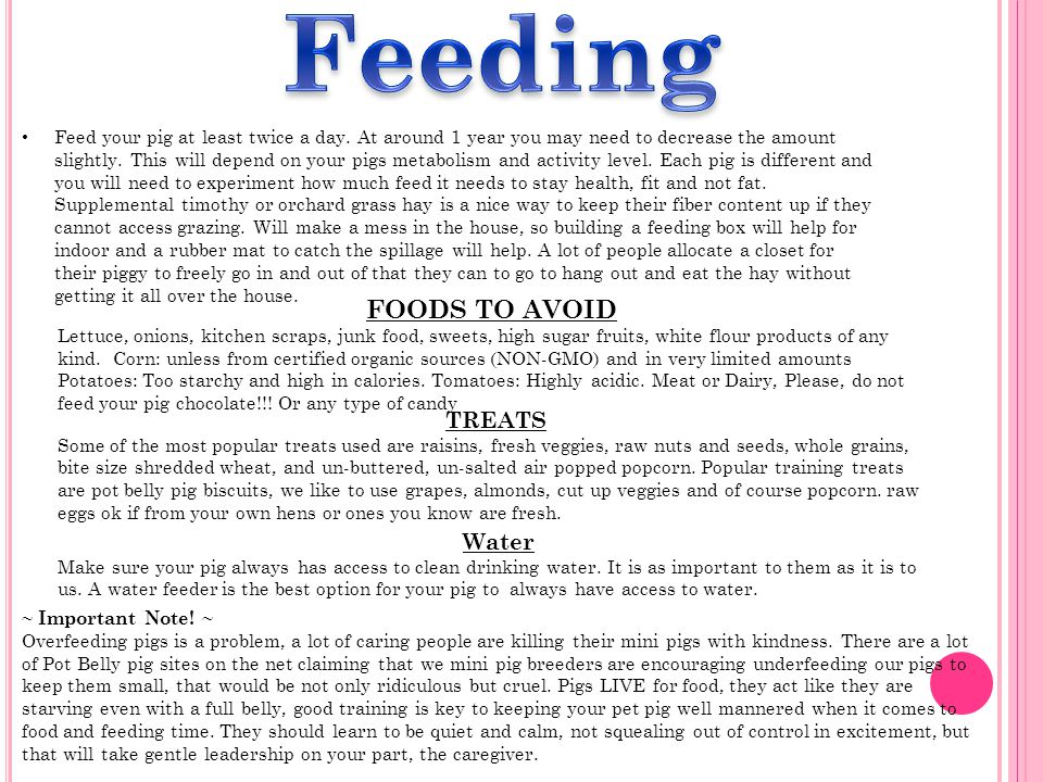 Feed your pig at least twice a day. At around 1 year you may need to decrease the amount slightly.