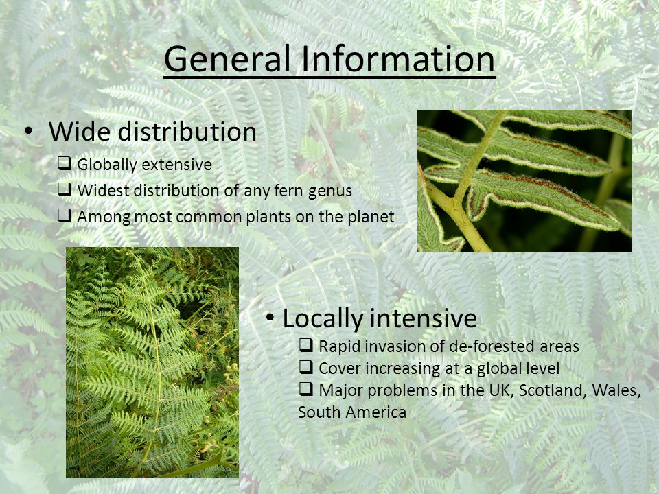 General Information Wide distribution  Globally extensive  Widest distribution of any fern genus  Among most common plants on the planet Locally in