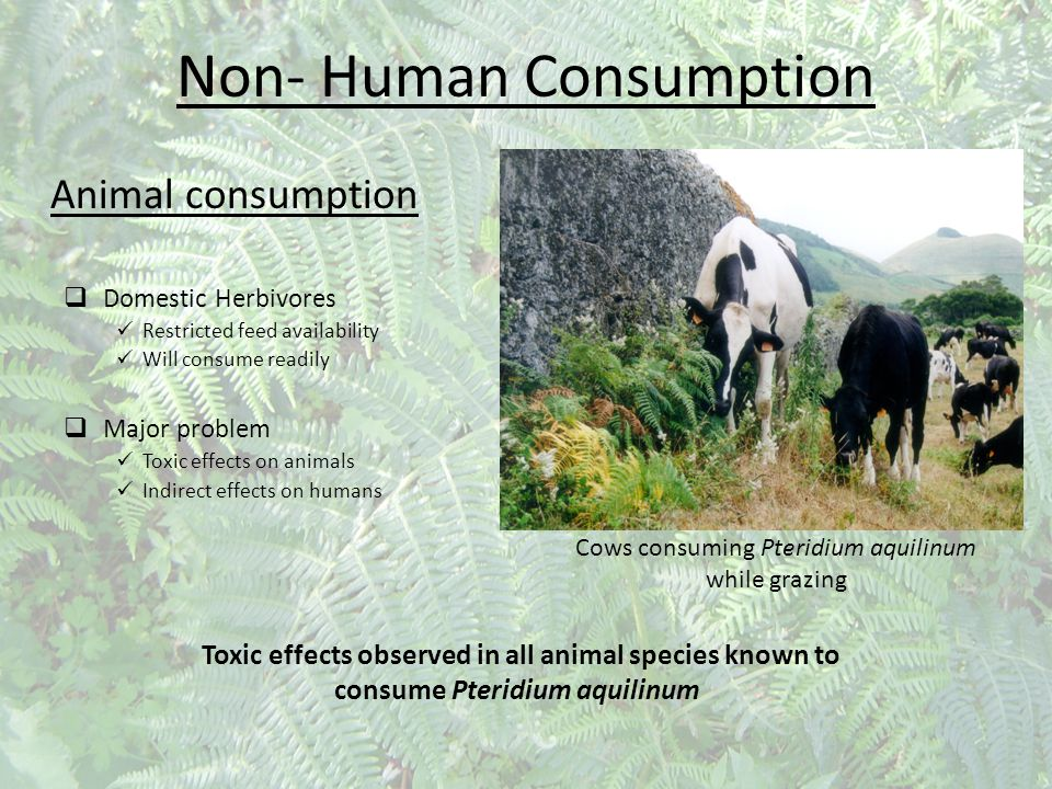 Non- Human Consumption Animal consumption  Domestic Herbivores Restricted feed availability Will consume readily  Major problem Toxic effects on ani