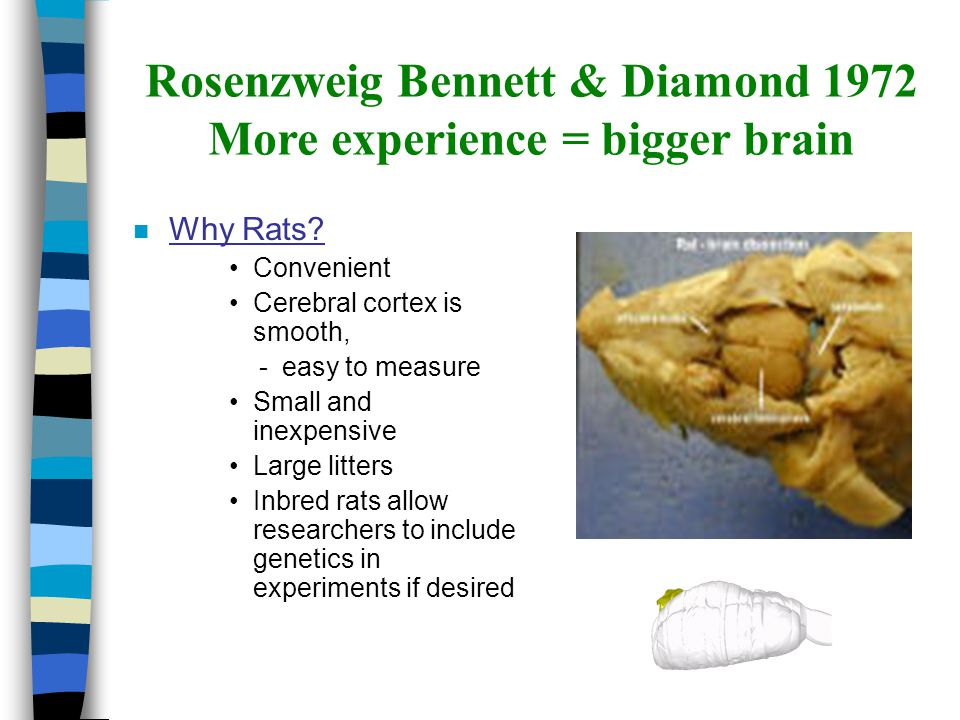 Rosenzweig Bennett & Diamond 1972 More experience = bigger brain n Why Rats? Convenient Cerebral cortex is smooth, - easy to measure Small and inexpen