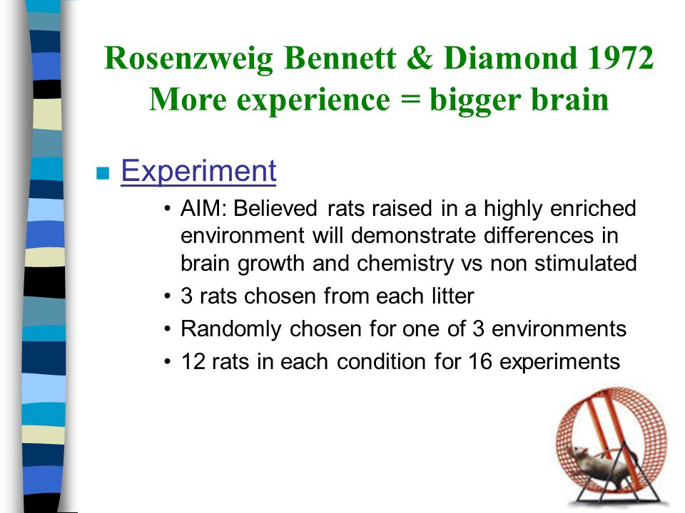 Rosenzweig Bennett & Diamond 1972 More experience = bigger brain n The Three Environments –Standard colony cage Several rats with adequate space and plenty of food/water – Impoverished environment Slightly smaller cage in an isolated room with adequate food and water – Enriched environment 6-8 rats lived in large cage with many different objects to play with, a new set everyday