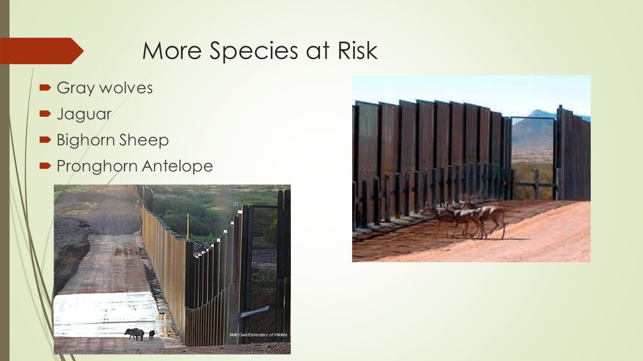More Species at Risk  Gray wolves  Jaguar  Bighorn Sheep  Pronghorn Antelope