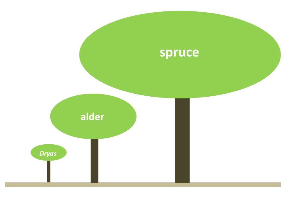 Dryas spruce alder