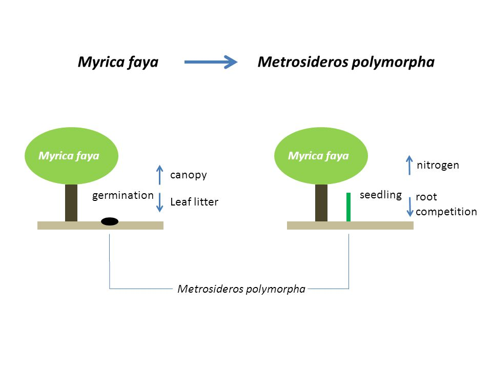 Myrica faya Myrica faya Metrosideros polymorpha germination Leaf litter canopy seedling root competition nitrogen Metrosideros polymorpha