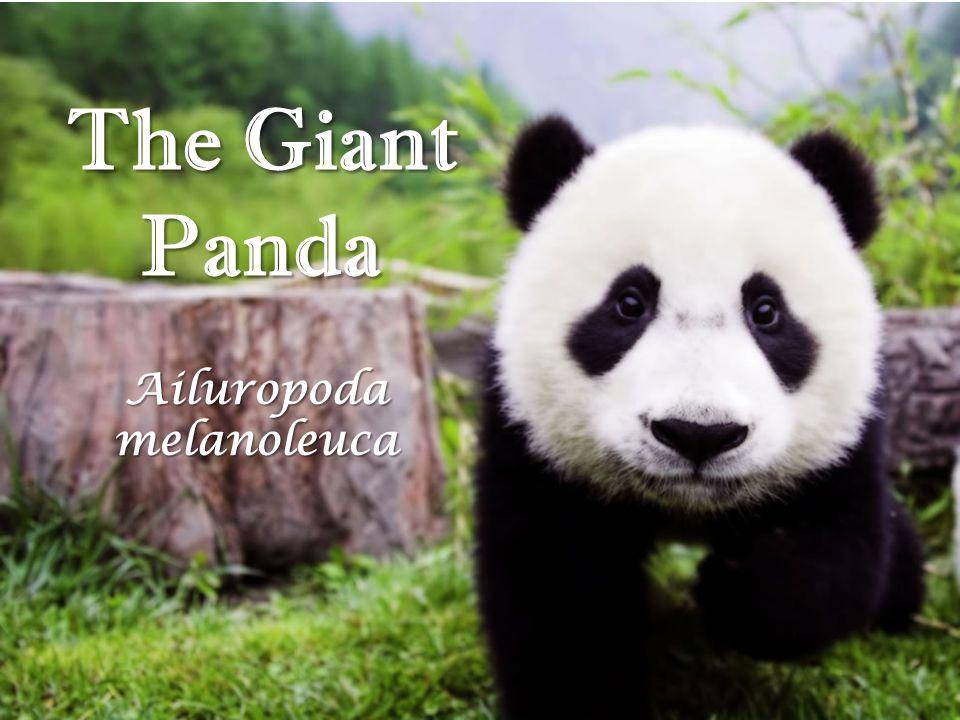 The Giant Panda Ailuropoda melanoleuca