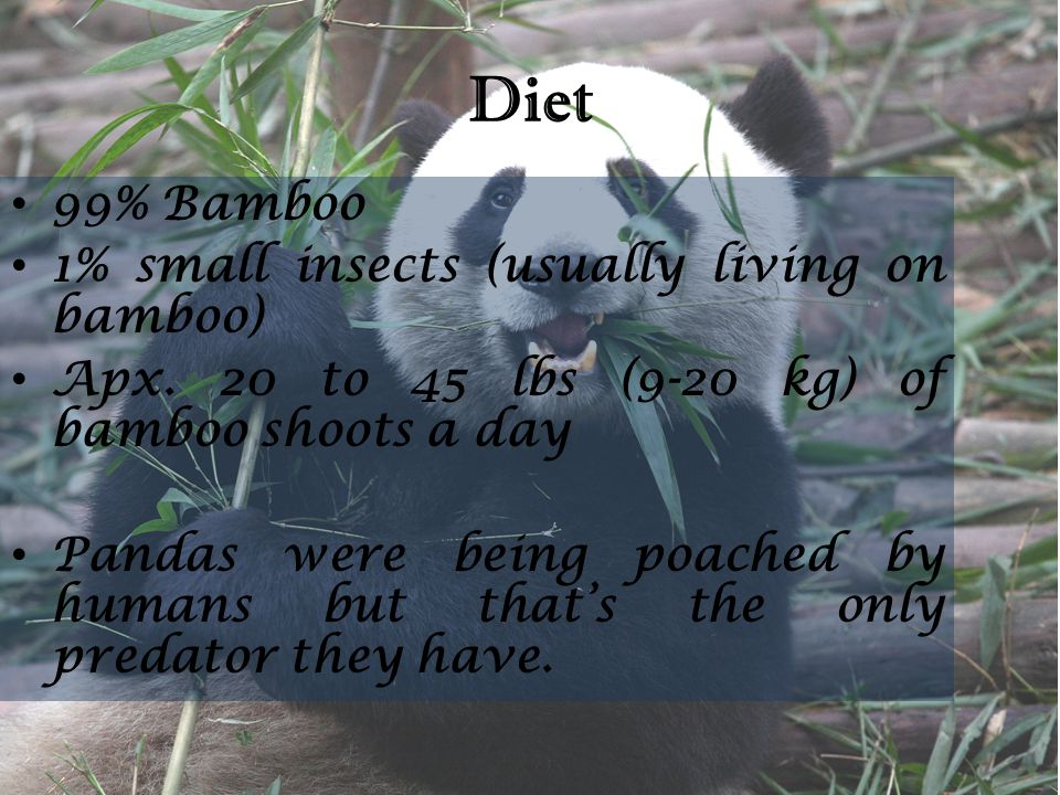 Diet 99% Bamboo 1% small insects (usually living on bamboo) Apx. 20 to 45 lbs (9-20 kg) of bamboo shoots a day Pandas were being poached by humans but
