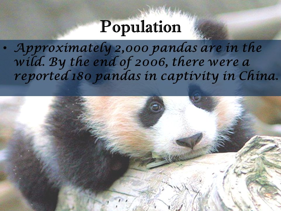 Population Approximately 2,000 pandas are in the wild. By the end of 2006, there were a reported 180 pandas in captivity in China.