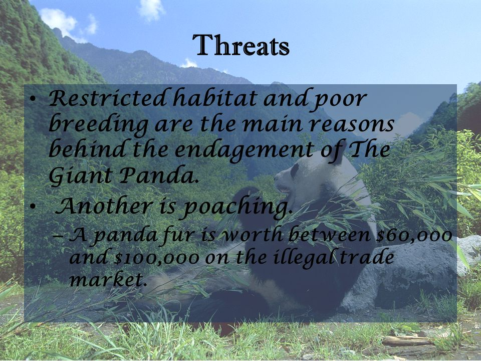 Threats Restricted habitat and poor breeding are the main reasons behind the endagement of The Giant Panda. Another is poaching. – A panda fur is wort