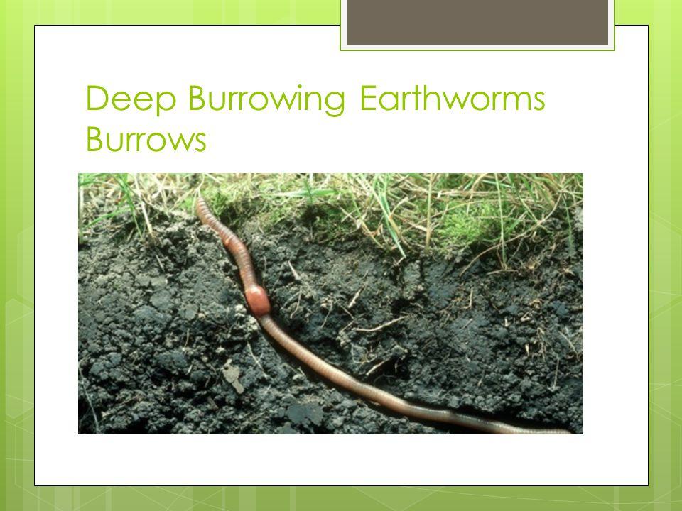 Deep Burrowing Earthworms Burrows