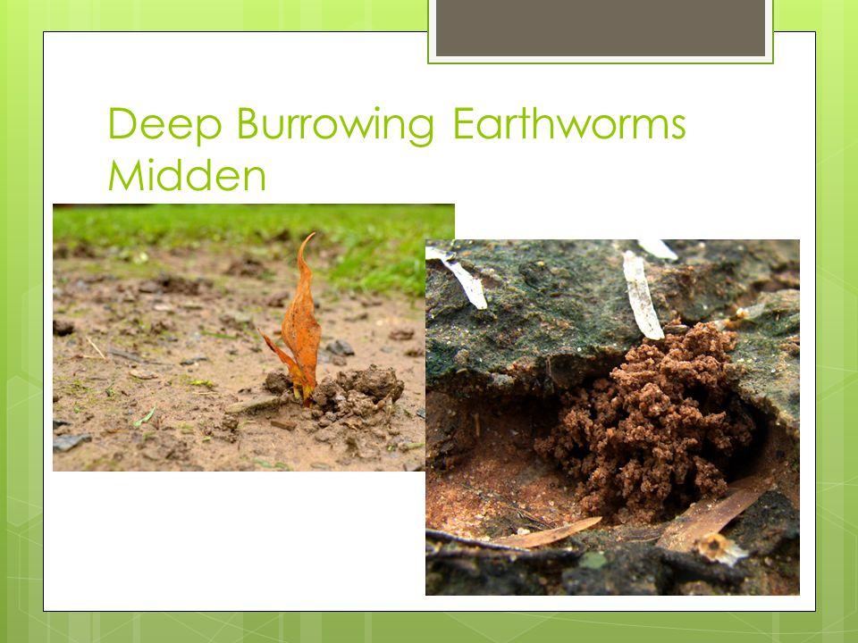 Deep Burrowing Earthworms Midden