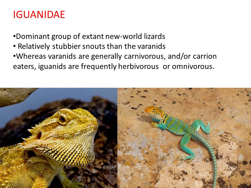 IGUANIDAE Dominant group of extant new-world lizards Relatively stubbier snouts than the varanids Whereas varanids are generally carnivorous, and/or carrion eaters, iguanids are frequently herbivorous or omnivorous.