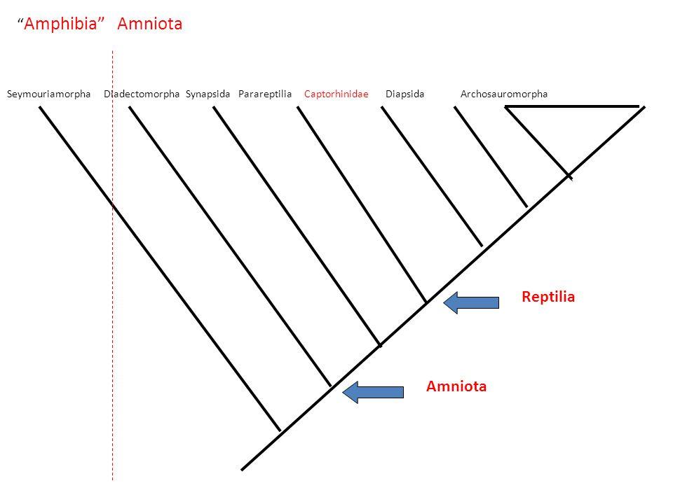 Amphibia Amniota Seymouriamorpha Diadectomorpha Synapsida Parareptilia Captorhinidae Diapsida Archosauromorpha Amniota Reptilia
