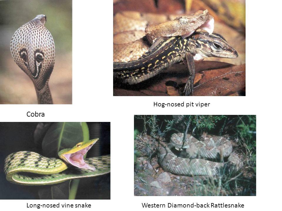 Cobra Hog-nosed pit viper Long-nosed vine snakeWestern Diamond-back Rattlesnake