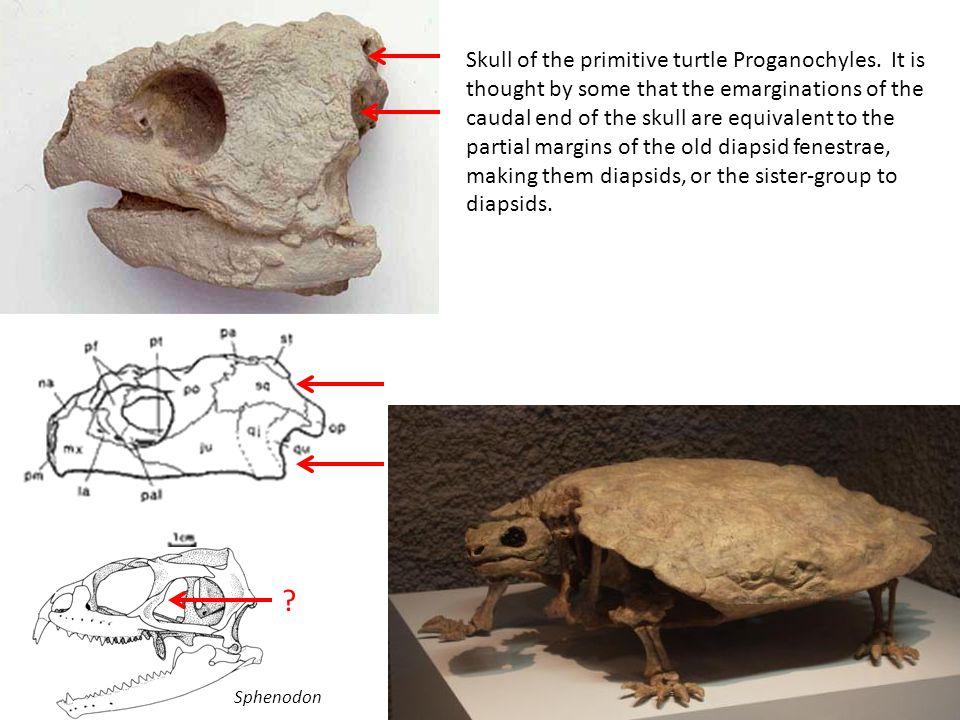 Skull of the primitive turtle Proganochyles.