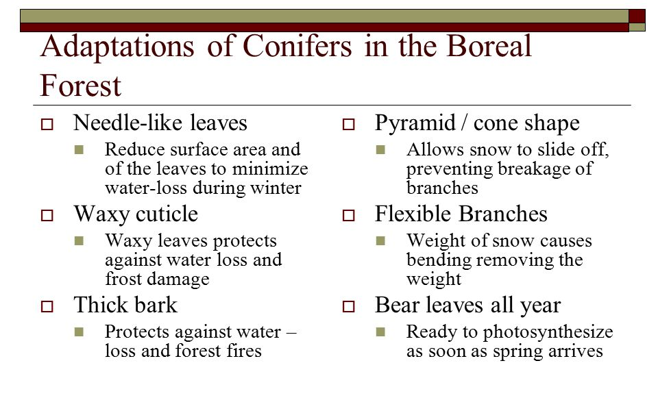 Adaptations of Conifers in the Boreal Forest  Needle-like leaves Reduce surface area and of the leaves to minimize water-loss during winter  Waxy cuticle Waxy leaves protects against water loss and frost damage  Thick bark Protects against water – loss and forest fires  Pyramid / cone shape Allows snow to slide off, preventing breakage of branches  Flexible Branches Weight of snow causes bending removing the weight  Bear leaves all year Ready to photosynthesize as soon as spring arrives