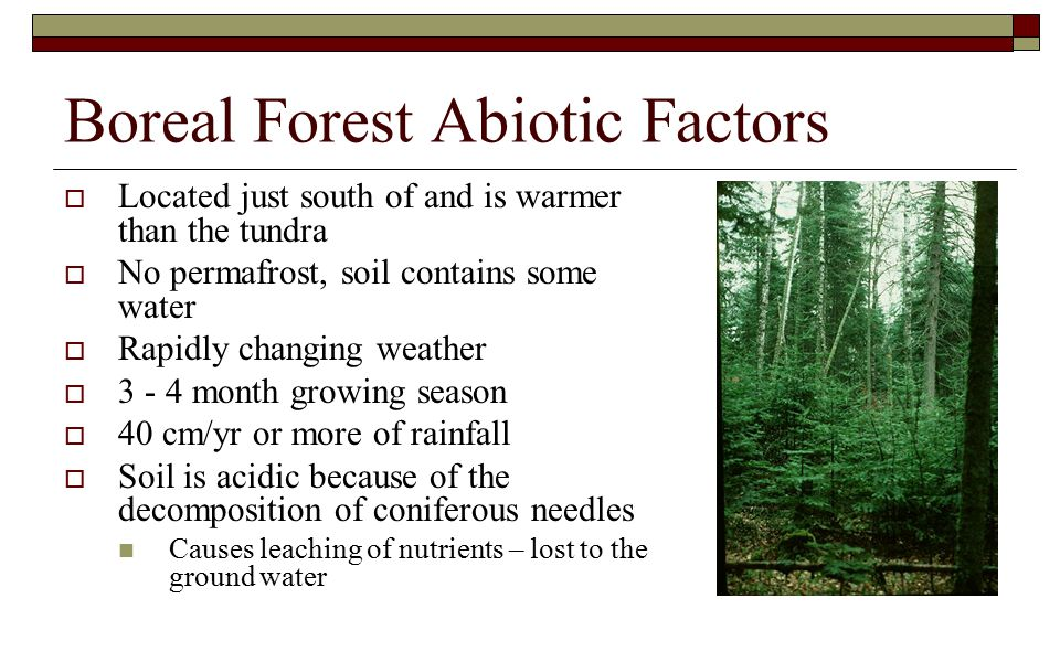 Boreal Forest Abiotic Factors  Located just south of and is warmer than the tundra  No permafrost, soil contains some water  Rapidly changing weather  3 - 4 month growing season  40 cm/yr or more of rainfall  Soil is acidic because of the decomposition of coniferous needles Causes leaching of nutrients – lost to the ground water