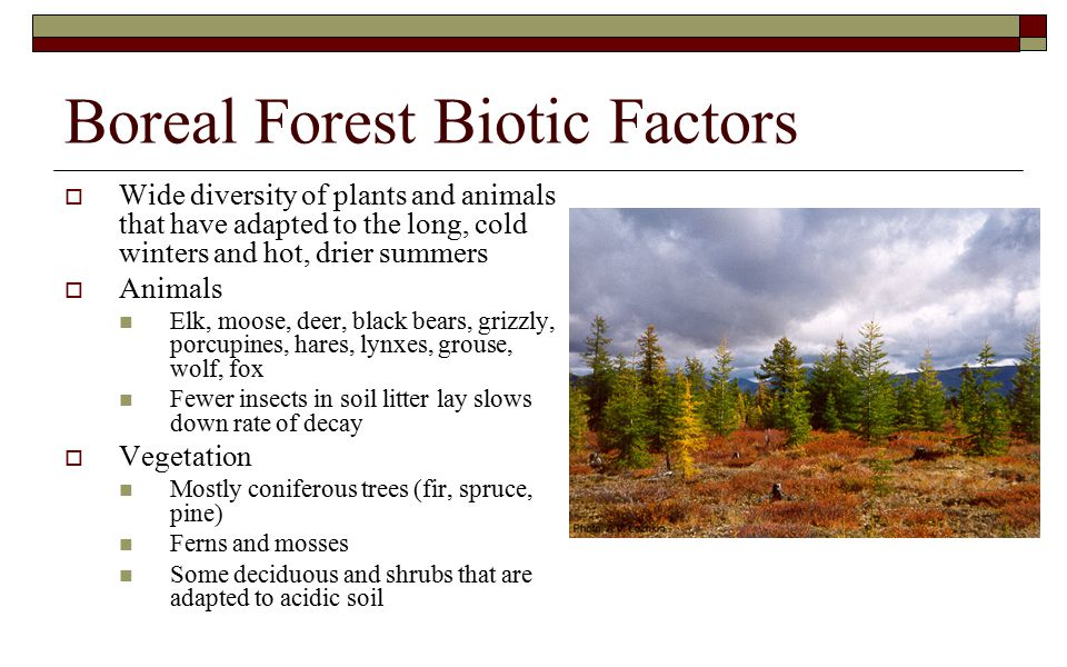 Boreal Forest Biotic Factors  Wide diversity of plants and animals that have adapted to the long, cold winters and hot, drier summers  Animals Elk, moose, deer, black bears, grizzly, porcupines, hares, lynxes, grouse, wolf, fox Fewer insects in soil litter lay slows down rate of decay  Vegetation Mostly coniferous trees (fir, spruce, pine) Ferns and mosses Some deciduous and shrubs that are adapted to acidic soil