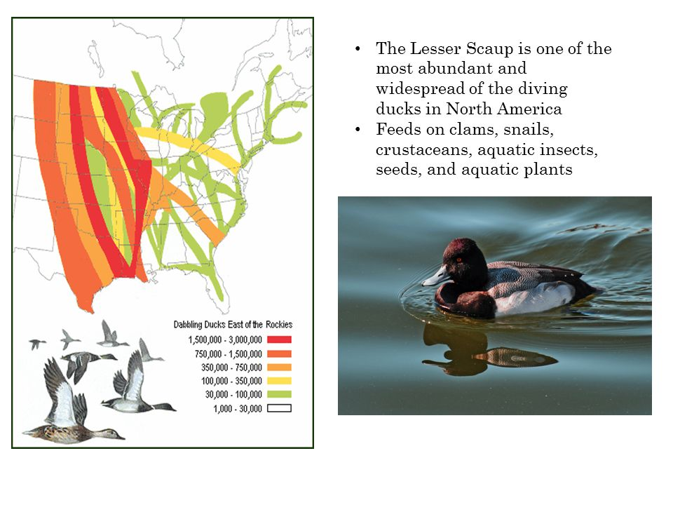 The Lesser Scaup is one of the most abundant and widespread of the diving ducks in North America Feeds on clams, snails, crustaceans, aquatic insects,