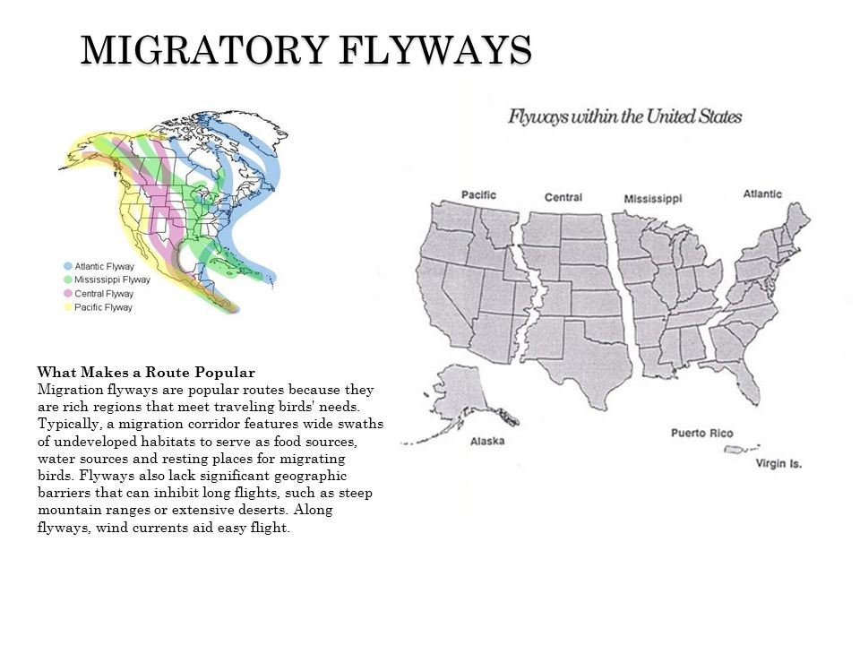 …then click the placeholders to add your own pictures and captions. MIGRATORY FLYWAYS What Makes a Route Popular Migration flyways are popular routes