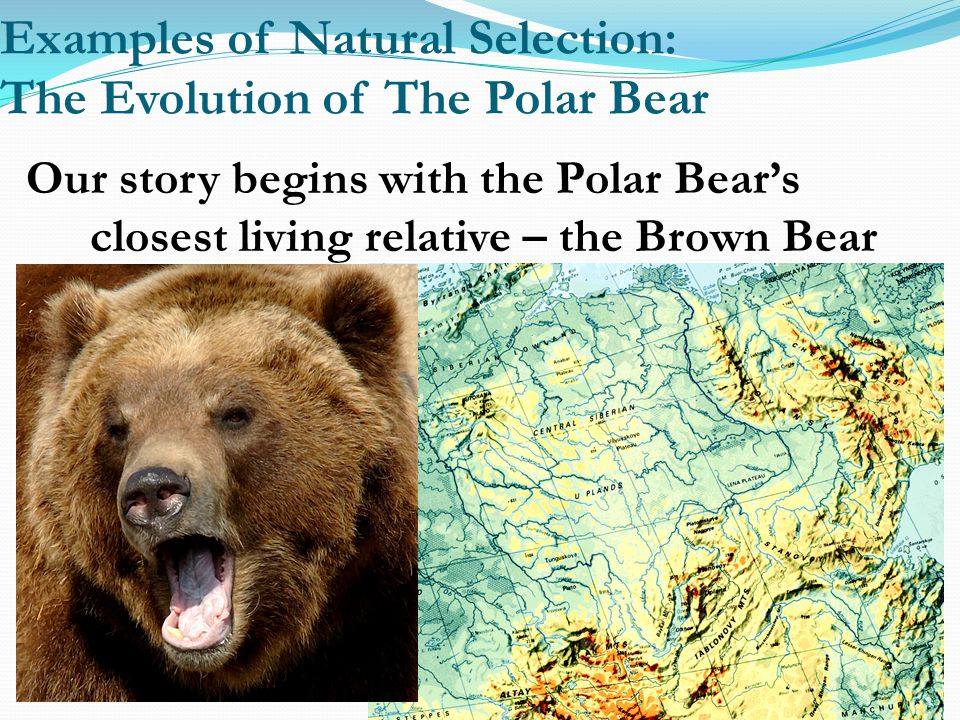 Examples of Natural Selection: The Evolution of The Polar Bear Our story begins with the Polar Bear's closest living relative – the Brown Bear