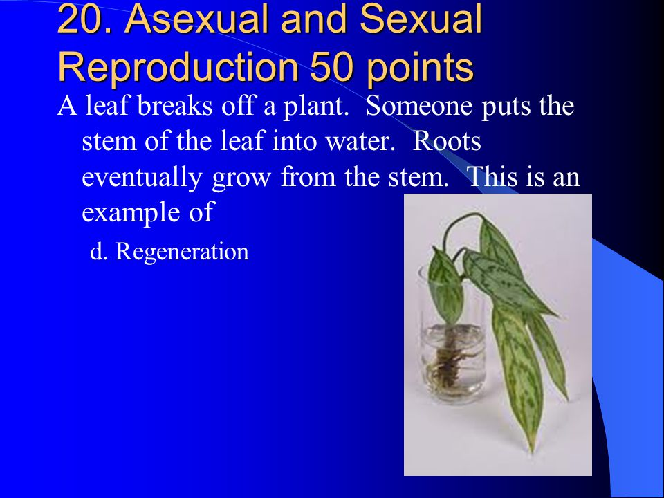 20. Asexual and Sexual Reproduction 50 points A leaf breaks off a plant. Someone puts the stem of the leaf into water. Roots eventually grow from the
