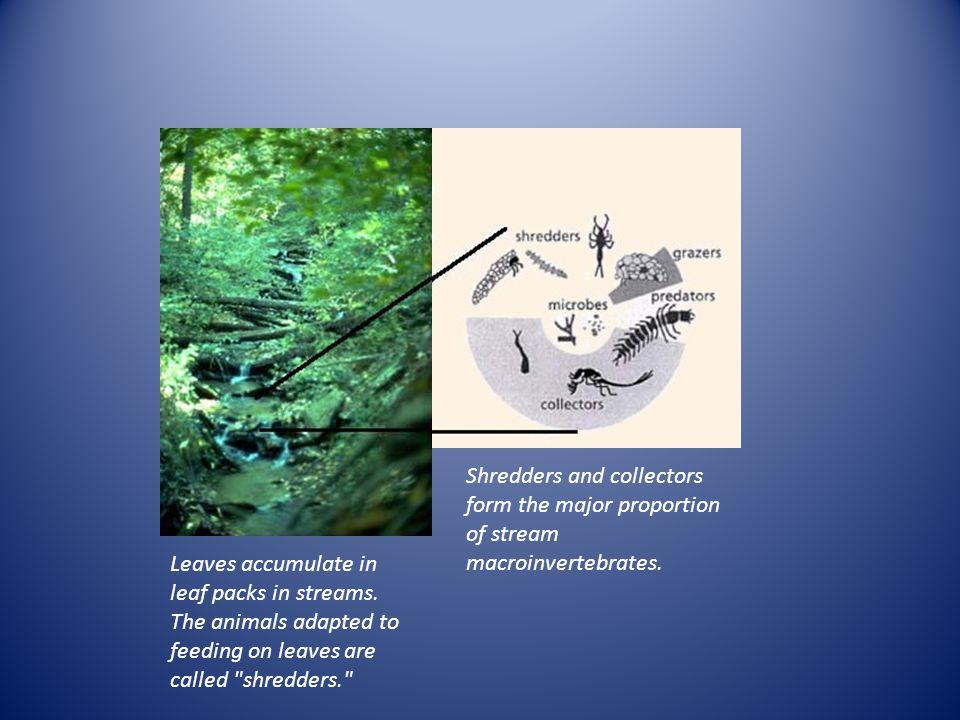 Leaves accumulate in leaf packs in streams.